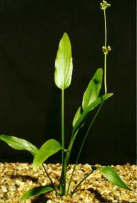 Echinodorus inpai- XXL