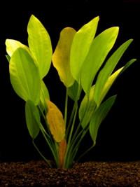Echinodorus rosaefolius-XXL