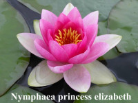 Nymphaea Princess Elizabeth