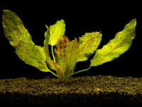Echinodorus ocelot green