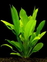 Echinodorus bleherae