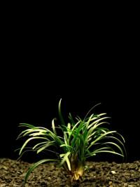 Ophiopogon Kyoto Dwarf T