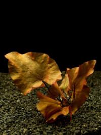 Tiger lotus red