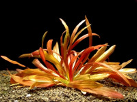 Echinodorus Rubin narrow leaf-XXL