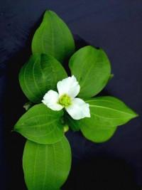 Echinodorus subalatus