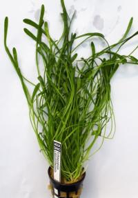 Lilaeopsis carolinensis