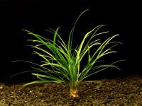 Ophiopogon japonicus T